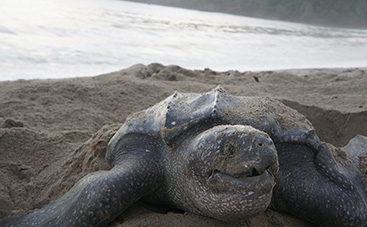 大きなものは900㎏越え!ウミガメの中でも最大種 オサガメの産卵を観察!(トリニダード島)