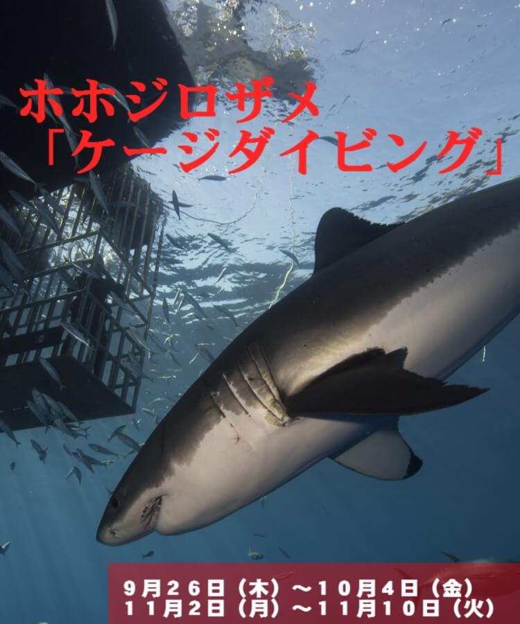 ホホジロザメ 「ケージダイビング」