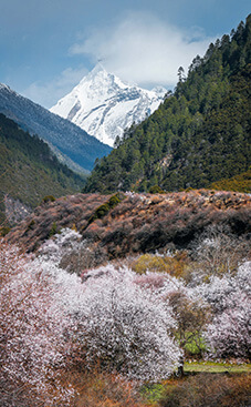 桃の花咲く東チベットの『桃源郷』林芝、波密