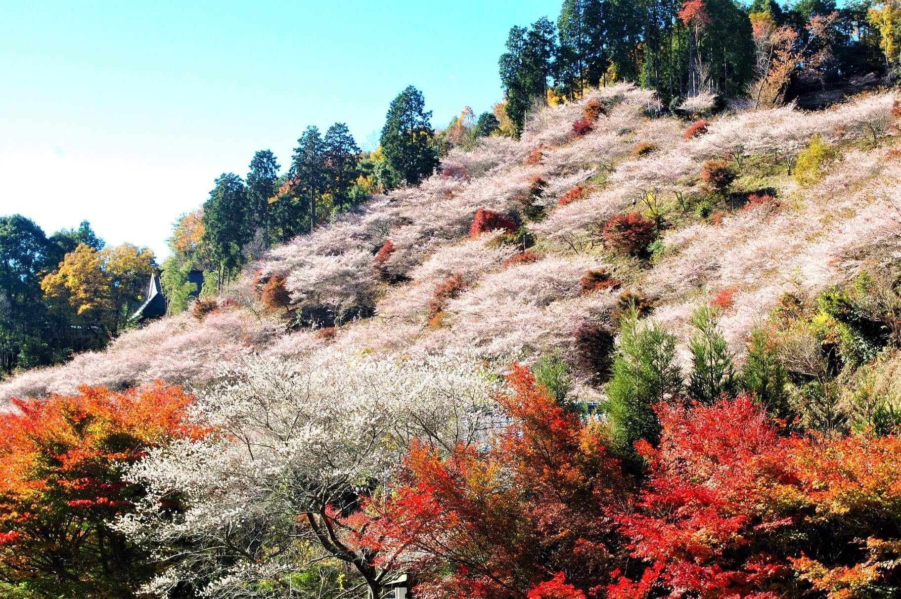 【国内・中部】 桜と紅葉の大共演!10000本の四季桜と蒲郡クラシックホテル滞在