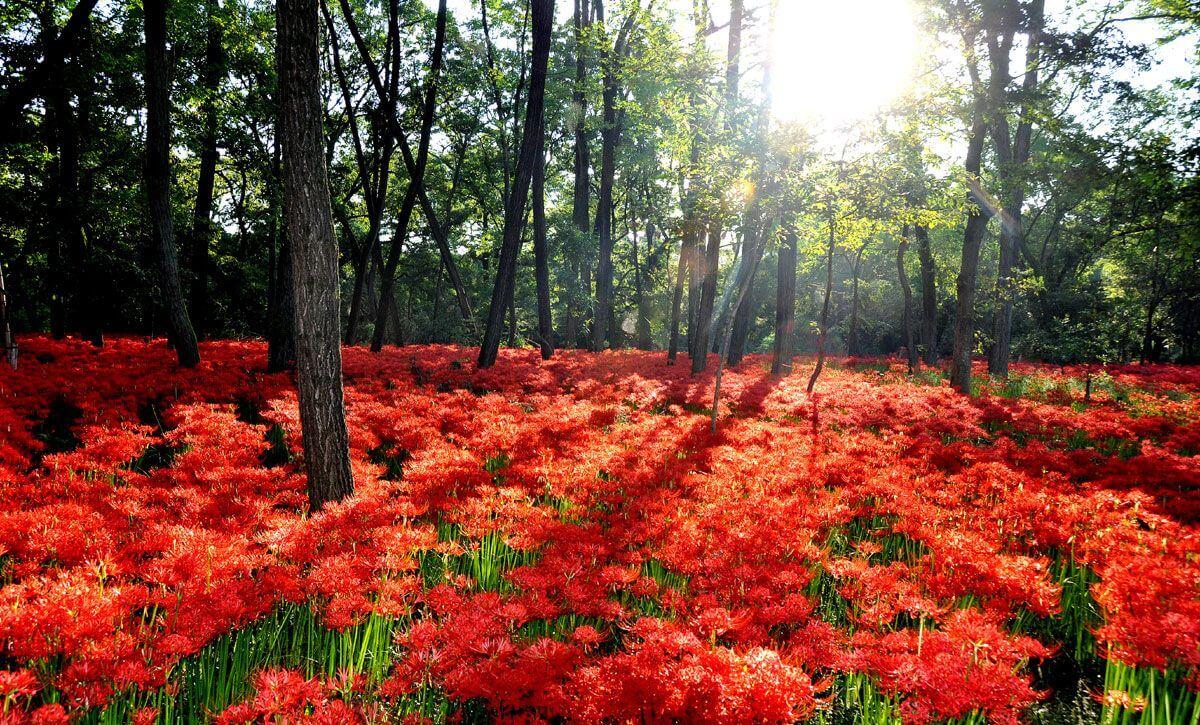 【国内・関東】 武蔵の小京都嵐山と高麗郷、500万本の曼殊沙華の里・巾着田の旅